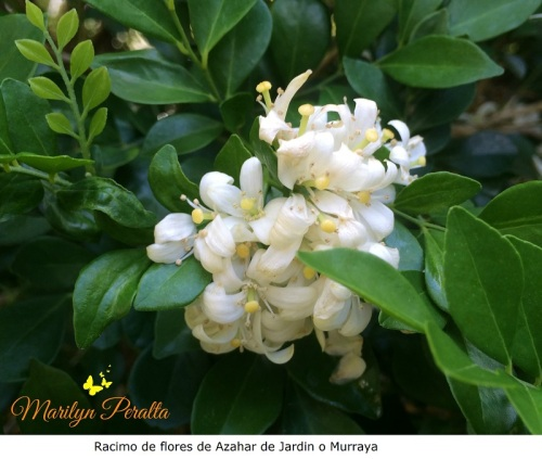 Racimo de flores de Azahar de Jardín o Murraya paniculada