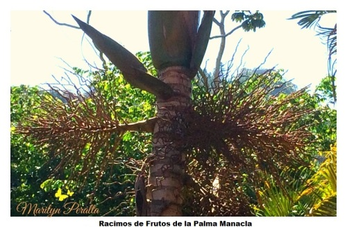 Racimo de Frutos en Palma Manacla