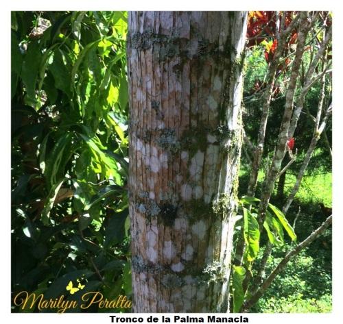 Tronco de la Palma Manacla
