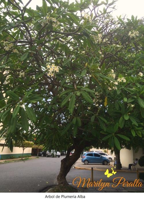 Arbol de Plumeria Alba