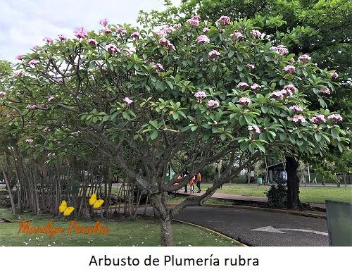 Arbusto de Plumería rubra