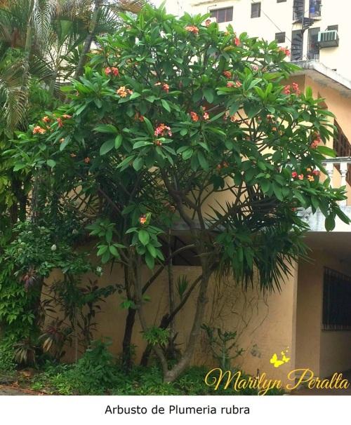 Arbusto de Plumeria rubra