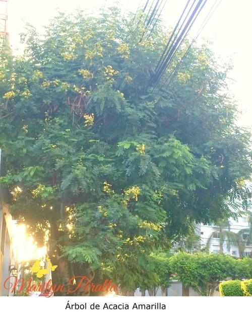 Acacia Amarilla árboles Y Flores En República Dominicana