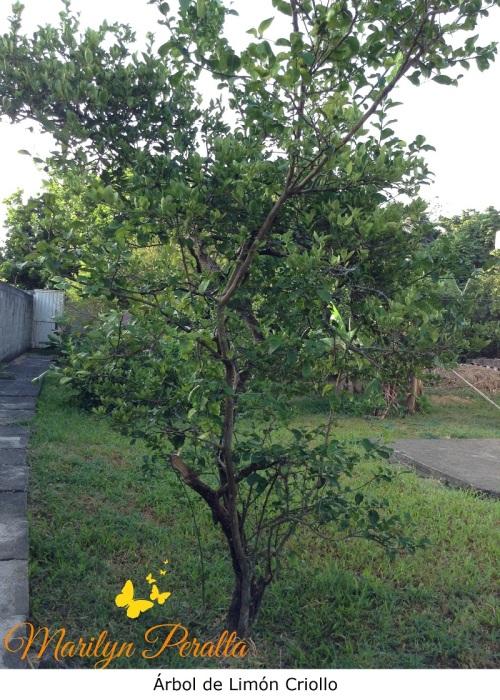 Árbol de Limón Criollo
