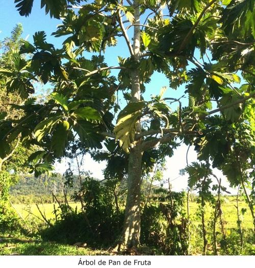 Árbol de Pan de Fruta