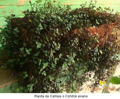 Callisia Repens