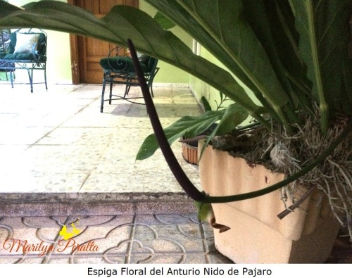 Espiga floral del Anturio Nido de Pajaro