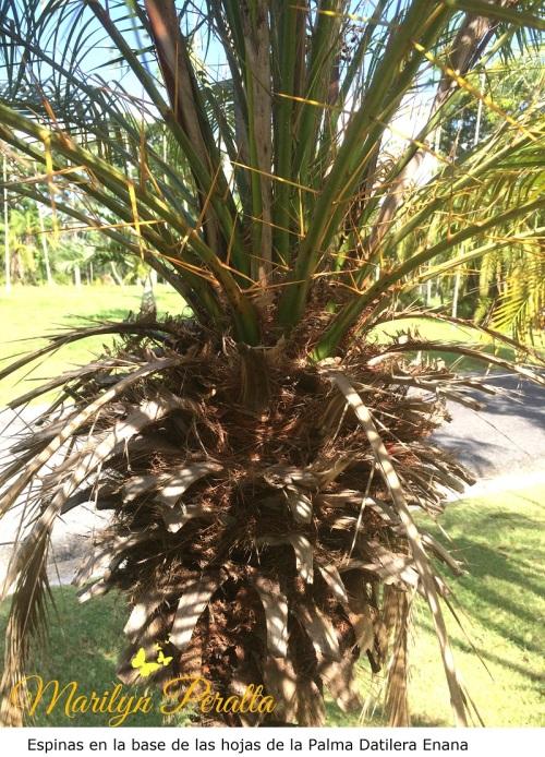 Espina en Base de las hojas - Palma Datilera Enana