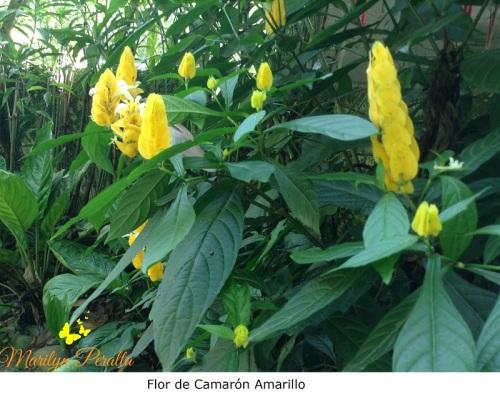 Flor de Camarón Amarillo