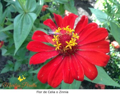 Flor de Celia o Zinnia