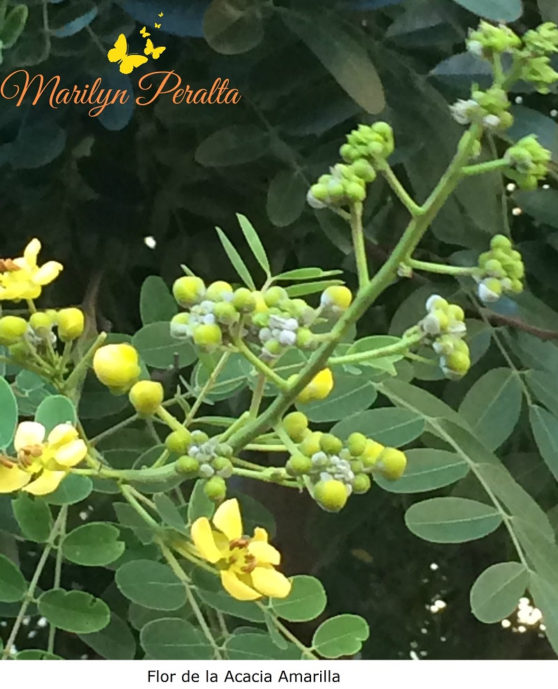 Flor de la Acacia Amarilla