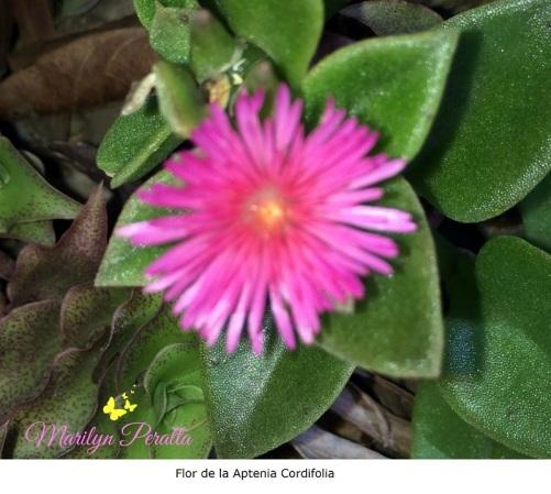 Flor de la Aptenia cordifolia