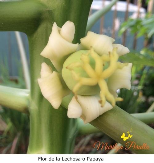 Flor de la Lechosa o Papaya