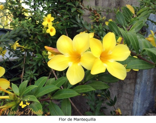 Flor de Mantequilla 2