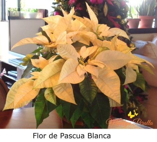 Flor de Pascua blanca