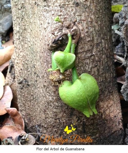 Flor del Arbol de Guanabana