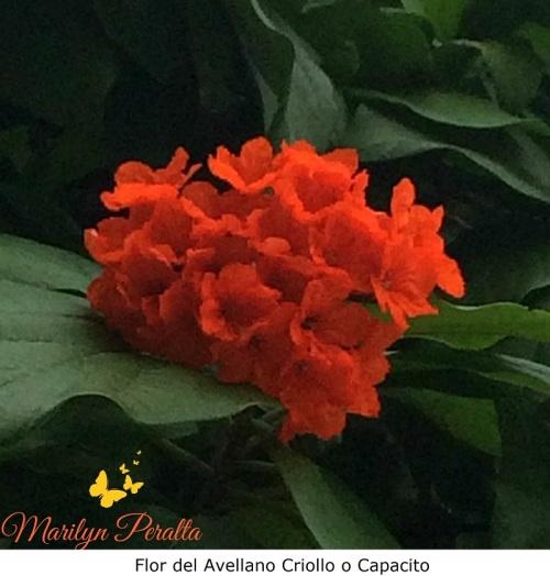 Flor del Avellano Criollo o Capacito