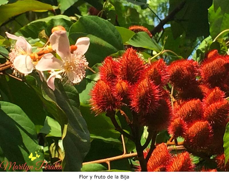 Bija – Árboles y Flores en República Dominicana