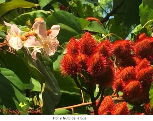 Flor y fruto de la Bija