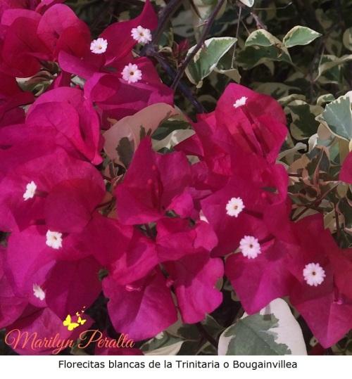 Florecitas blancas de la Trinitaria o bougainvillea