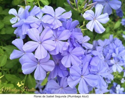 Flores de Isabel Segunda