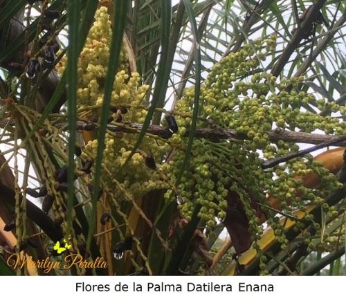 Flores de la Palma Datilera Enana