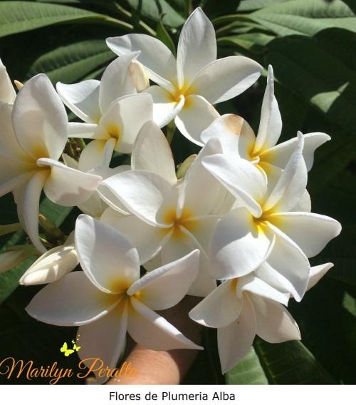 Flores de Plumeria alba