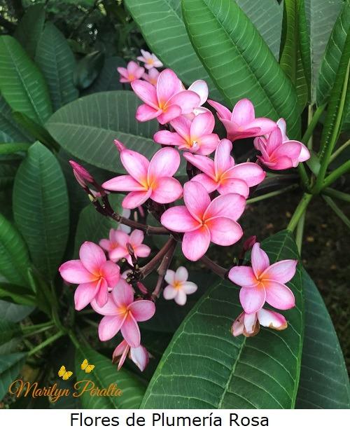 Flores de Plumeria rosa