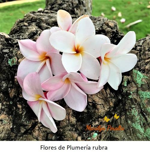 Flores de Plumeria rubra