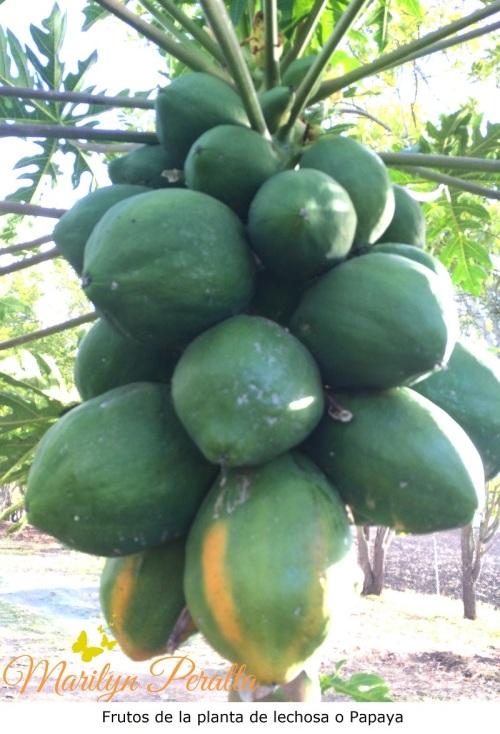Fruto de la Lechosa o Papaya