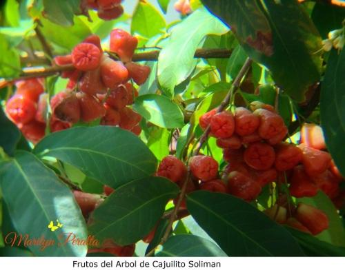 Frutos del arbol de Cajuilito soliman