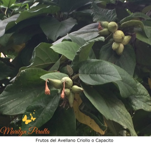 Frutos del Avellano Criollo o Capacito