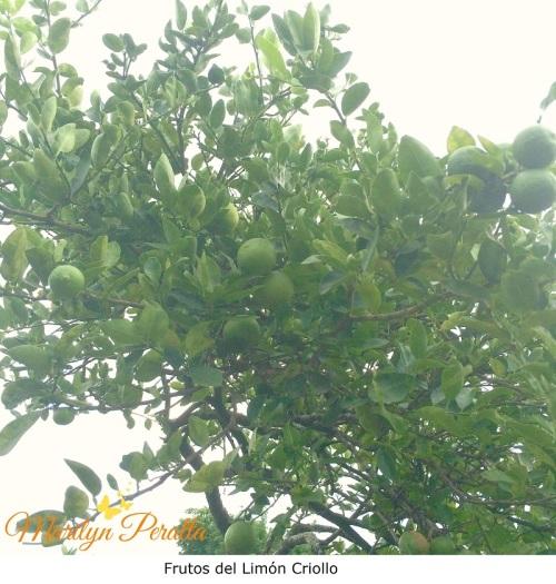 Frutos del Limón Criollo