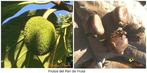 Frutos del Pan de Fruta