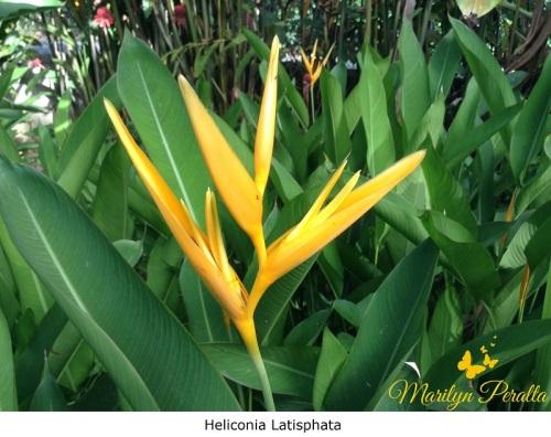 Heliconia Latisphata