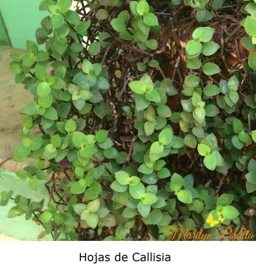 Hojas de Callisia