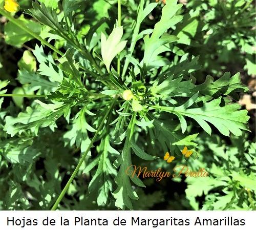 Hojas de la Planta de margaritas amarillas