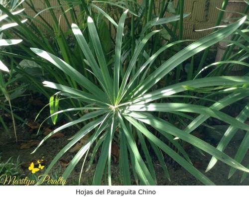 Hojas del Paragüita chino