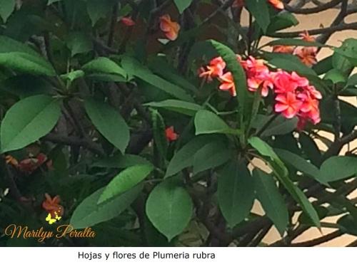 Hojas y flores de Plumeria rubra