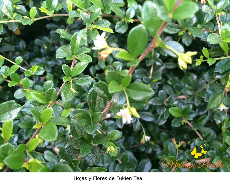 Hojas y flores del Fukien Tea