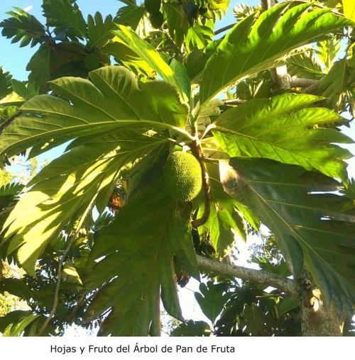 Hojas y fruto del Pan de Fruta