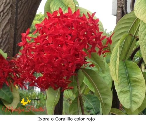 Ixora o Coralillo color rojo