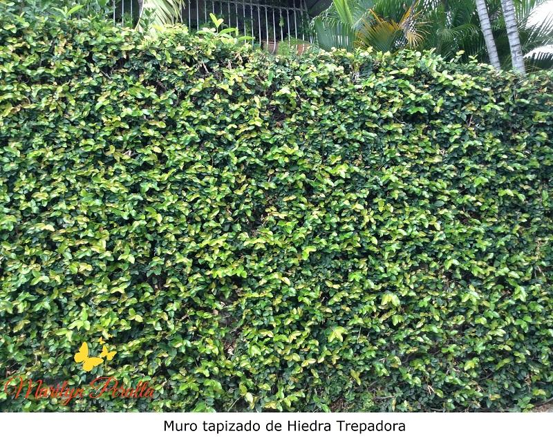 Plantas para vallas trendy plantas trepadoras de sol perfect best perfect flores que arbustos - Plantas para vallas ...