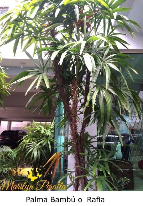 Palma Bambu o Rafia