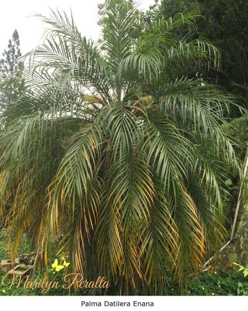 Palma Datilera Enana