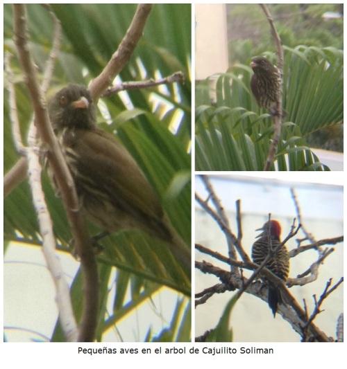 Pequeñas aves en el arbol de Cajuilito Soliman