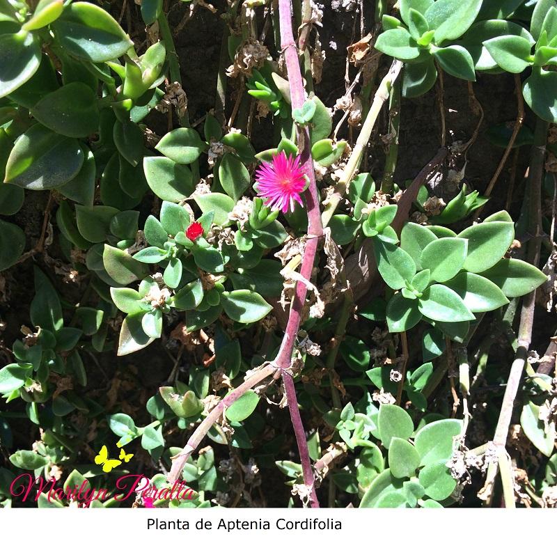 Planta de Aptenia Cordifolia