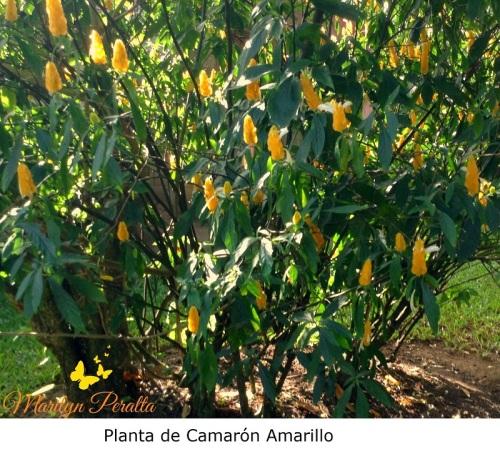Planta de Camarón Amarillo