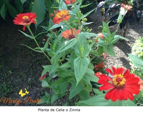 Planta de Celia o Zinnia