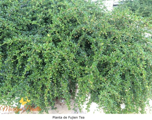 Planta de Fukien Tea